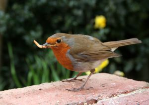 Robin enjoying a mealworm, your chickens will too!