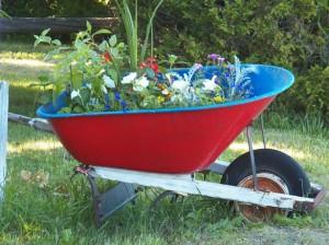 """recycled"" wheelbarrow used as a raised garden bed"