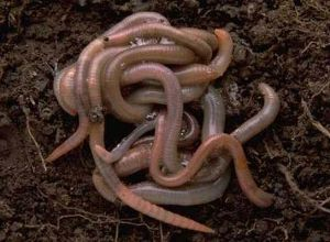 Should you use red wiggler worms or earthworms for composting? Post at www.pintsizefarm.com