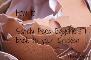 Feeding eggshells to your chickens can help increase their calcium levels.