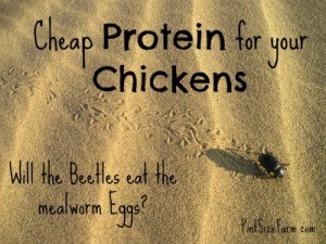 Finding cheap protein sources for your chickens - questions on mealworms answered at PintSizeFarm.com