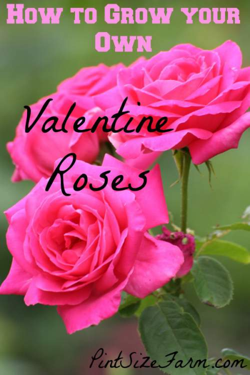 Valentine Roses - grow your own for a personal twist on a classic gift. Great idea! How to found at www.PintSizeFarm.com