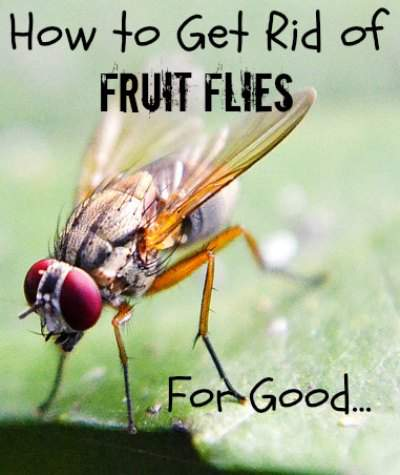 So easy and you can get rid of fruit flies within 24 hours. Found at www.PintSizeFarm.com